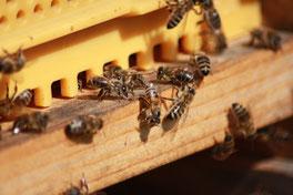 Die Bienen wurden schon gegen die parasitische Varoamilben behandelt und sie haben schon Winterfütter bekommen. An den warmen Tagen sind sie dennoch fleißig und am Flugloch herrscht reges Treiben.