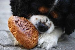 un chien cavalier king charles blanc et noir mange un morceau de pain par coach canin 16 educateur canin charente
