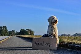 Un chien dogue argentin au volant d'une voiture décapotable rouge par coach canin 16 educateur canin en charente
