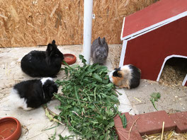 Kaninchenpension und Meerschweinchenpension