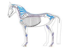 Anatomie Pferd, Bänder, Kaja Möbius