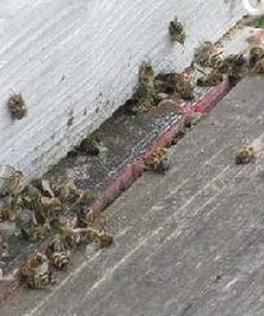 Les abeilles du couple Salerno retrouvées mortes le 29 mars. Photo Marc et Shirine SALERNO