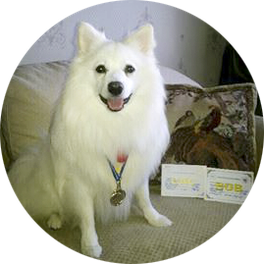 Japanese Spitz, Simba Tsar Zverei, Ukraine, im Ukraine, Best of the Best of Breed