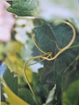 vignes, gite vignoble à Tuchan, Aude