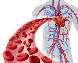 Blutkreislauf - Fitness Germersheim