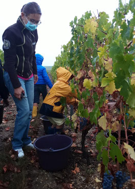 picking-grapes-harvest-worshop-vineyard-activity-Loire-Valley-Vouvray-wine-tours