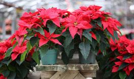 Le Poinsettia dit L'Étoile de Noël .