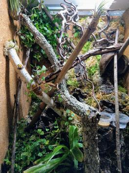Eurydactylodes agricolae terrarium