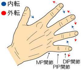 骨間筋と母指内転筋の作用