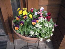 寄せ植えの花はこれからどんどん育ちます