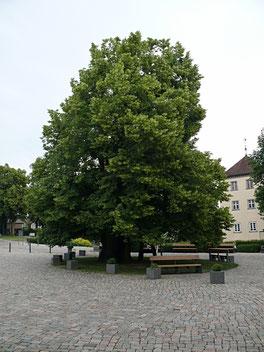 Dorflinde in Heiligenberg nahe Bodensee