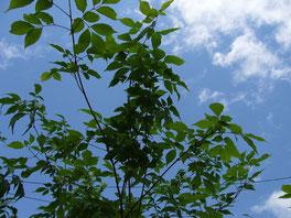 アオダモ シンボルツリー