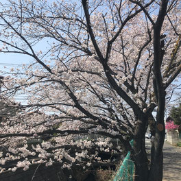 うちの家の前の桜も満開!