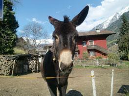 Esel in St. Martin im Passeiertal