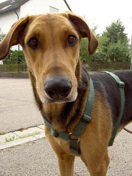 Ein gut sitzendes Brustgeschirr ist für Hund und Halter vorteilhaft