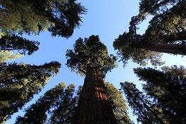 世界最大級の生命が生存の危機 米カリフォルニア州セコイア国立公園にあるシャーマン将軍の木 Photo by throgers CC BY-NC-SA 2.0