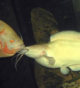 Clarias batrachus attackiert einen Pfauenaugenbuntbarsch (Astronotus ocellatus)