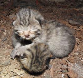 junge Wildkatzen vom Kriegberg. Foto: U. Schneider