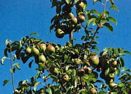 Früchte, Äpfel, Reifung
