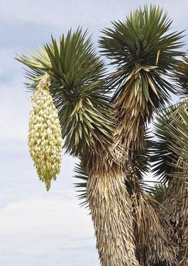 Bild Yucca filifera (c) Wolfgang Metorn