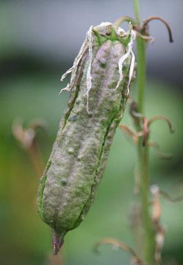 Yucca recurvifolia x rostrata (c) Horst Faber