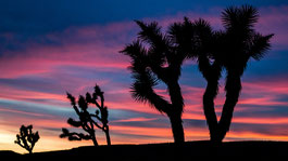 Joshua Trees nach Sonnenuntergang in Arizona