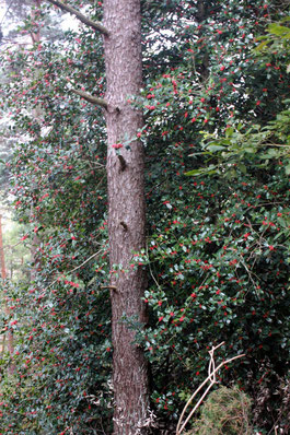 am Wegrand im lichten Hangwald die Europäische Stechpalme (Ilex aquifolium) mit ihren leuchtend roten Beeren