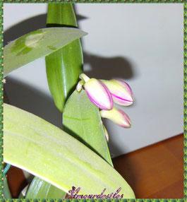 Boutons floraux de mon Dendrobium mi février 2013