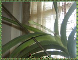 Hampe florale de ma Vanda bleue Anco, dec, janvier 2013