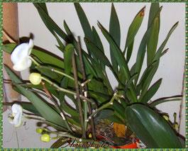 Cambria au fond et Deux phalaenopsis en fleurs et boutons, janvier/février 2°13