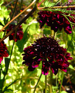 Scabiose / Scabiosa Back in Black - Englische Blumensaaten bei www.the-golden-rabbit.de