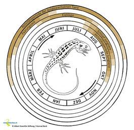 Jahreszyklus der Zauneidechse