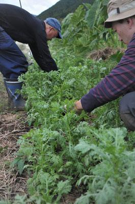 シュンギク 自然栽培 農業体験 体験農場 野菜作り教室  さとやま農学校