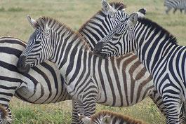 Zebras auf einer Tansania Reise