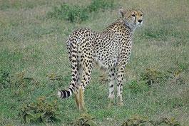 Gepard auf einer Tansania Reise
