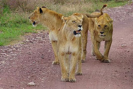 Löwe auf einer Tansania Reise