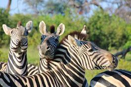 Zebras auf einer Botswana Safari