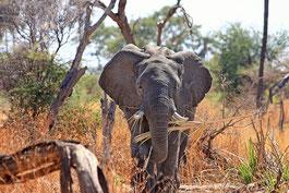 Elefant Simbabwe Safari