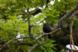 Amsel, Singvogel