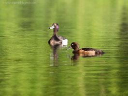 Entenvogel, Reiherente, Ente, braune Ente, schwarze Ente
