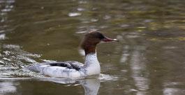 Gänsesäger, Wasservogel