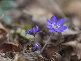 Leberblume, Leberblümchen, Frühjahrsblüher