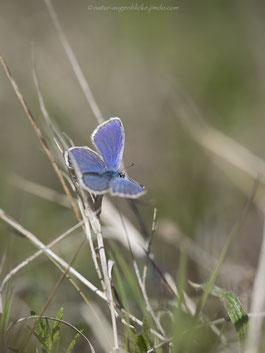 Bläuling, Heupferd, Schmetterling, Butterfly, Grashüpfer
