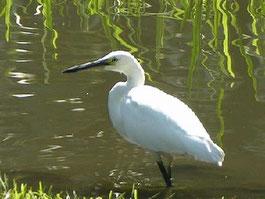 ・コサギ白色型 2004年10月7日 日比谷公園