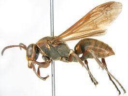 キボシアシナガバチ(スズメバチ科)