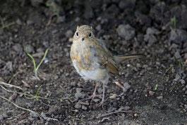 Rotkehlchen-Jungvogel - NABU/Nicole Bußmann