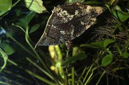 Monocirrhus polyacanthus - рыба-лист
