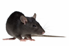 Rats in your house or garden are a common problem