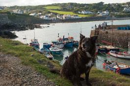 Hund sitzt vor dem Hafenbecken von Coverack, Cornwall