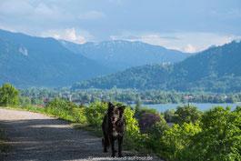 Nala Hund auf Tour steht auf dem Tegernseer Höhenweg im Hintergrund ist der Tegernsee und die bayerischen Voralpen zu sehen